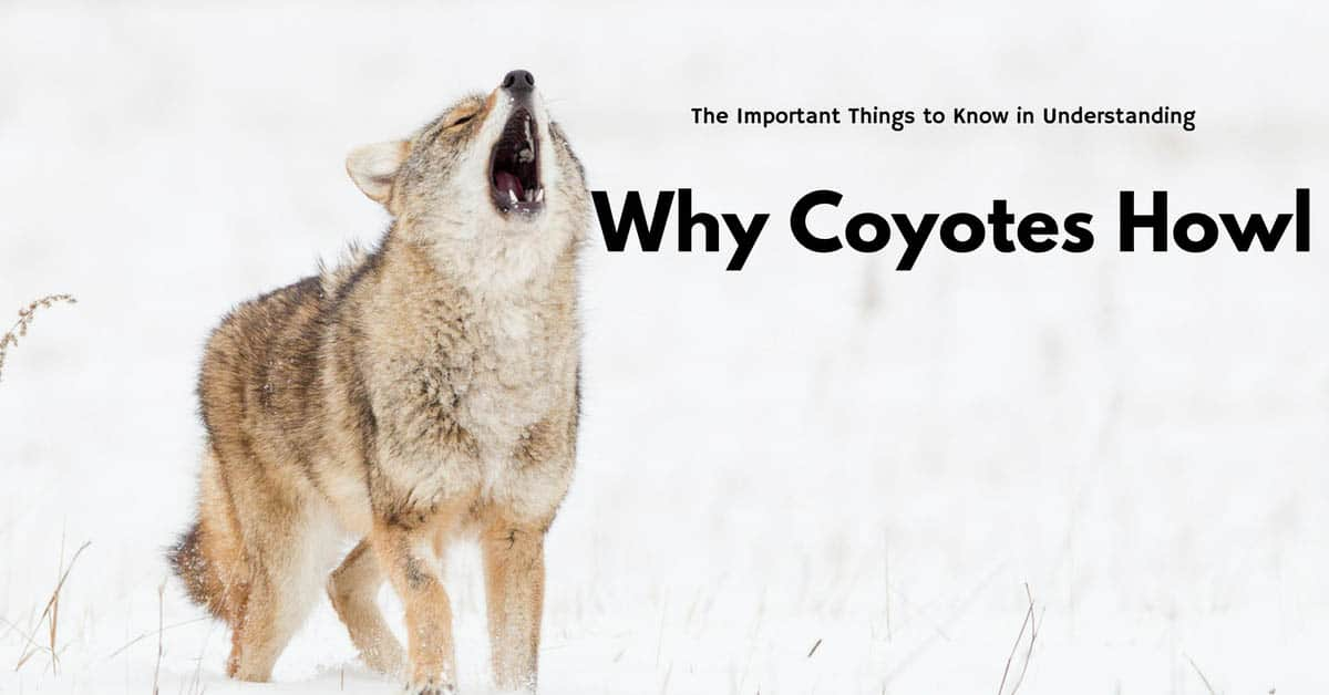 why do coyotes howl