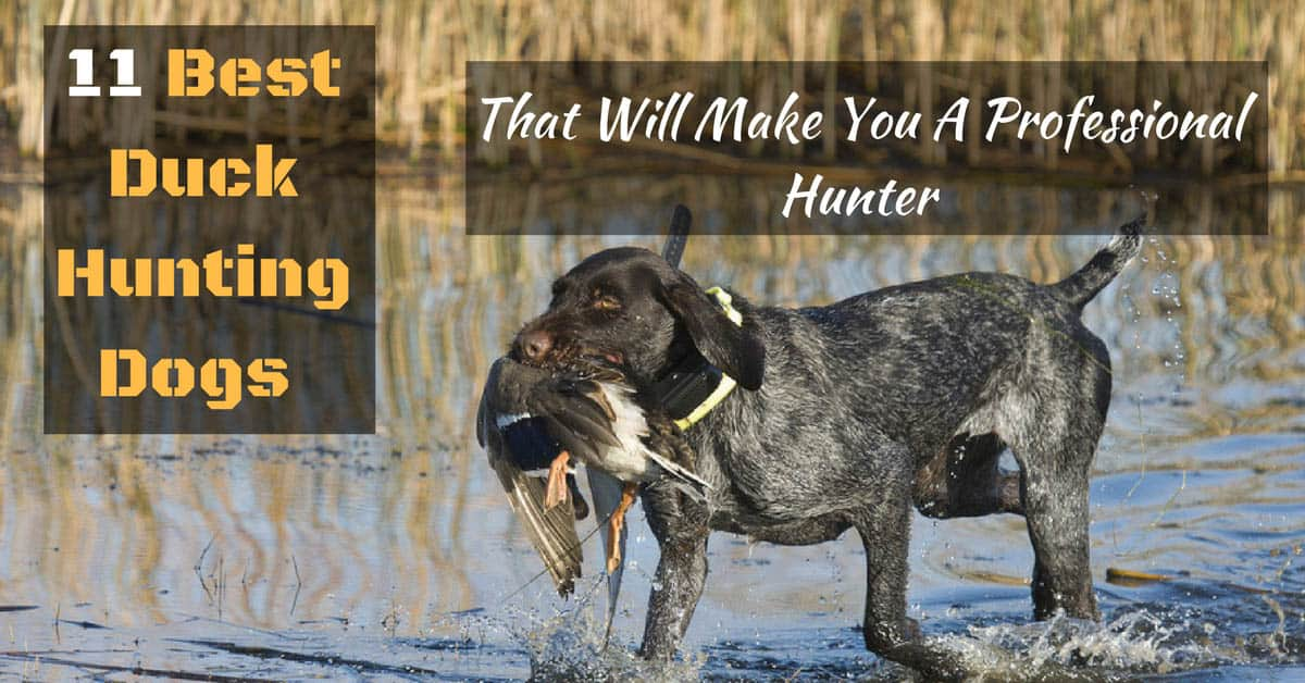 Best Duck Hunting Dogs