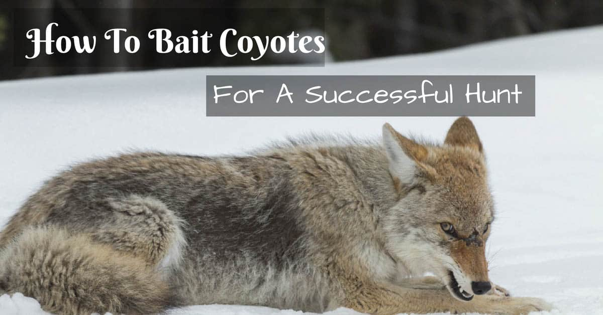 How To Bait Coyotes
