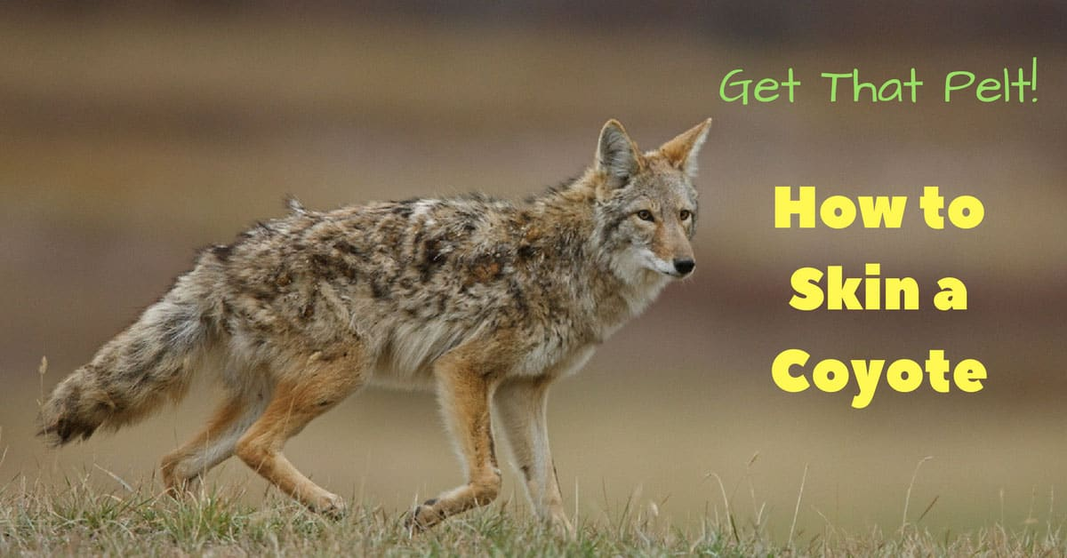 How to Skin a Coyote