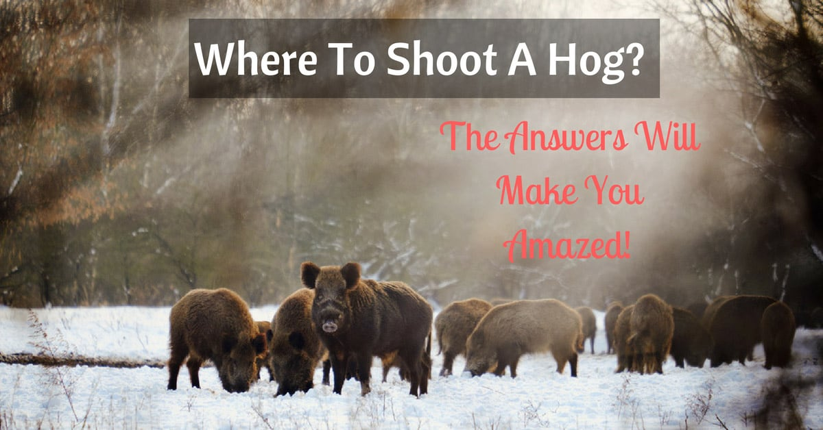 Where To Shoot A Hog