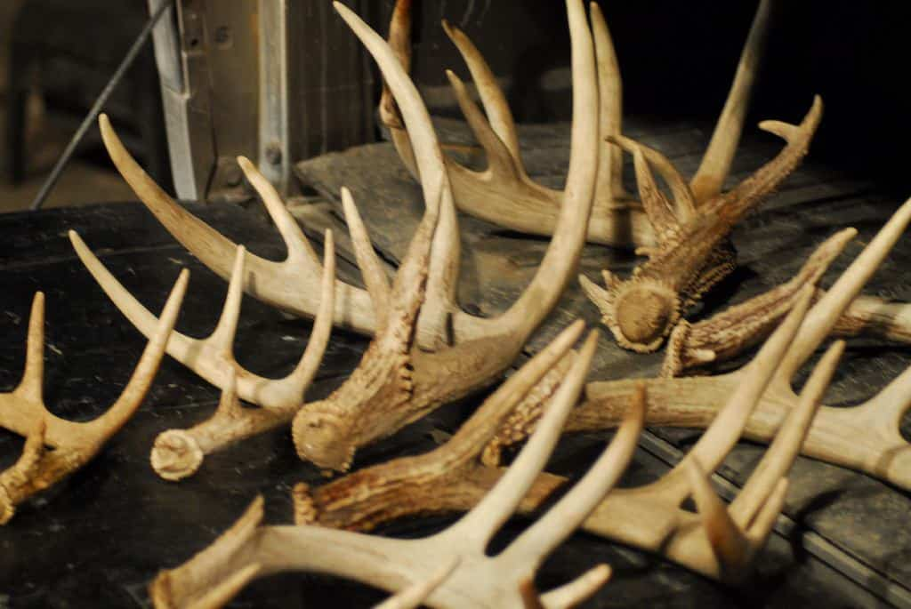 when do whitetail deer shed their antlers in ohio