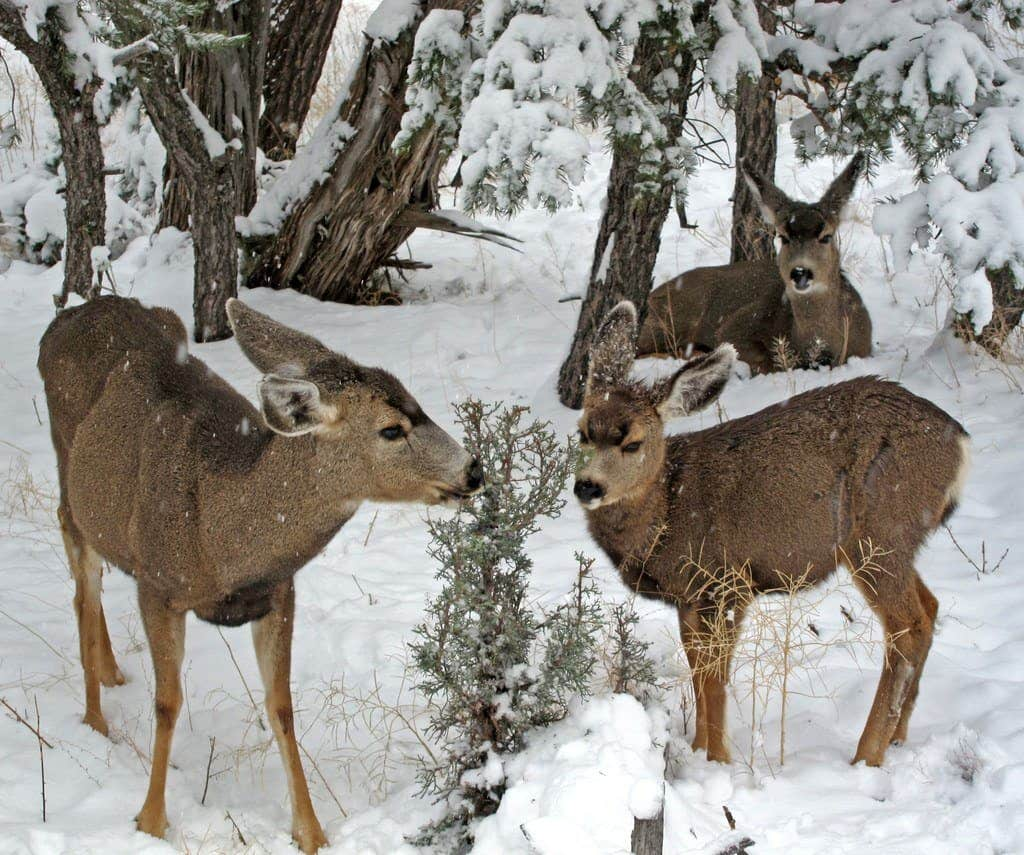 what do whitetail deer eat in the winter