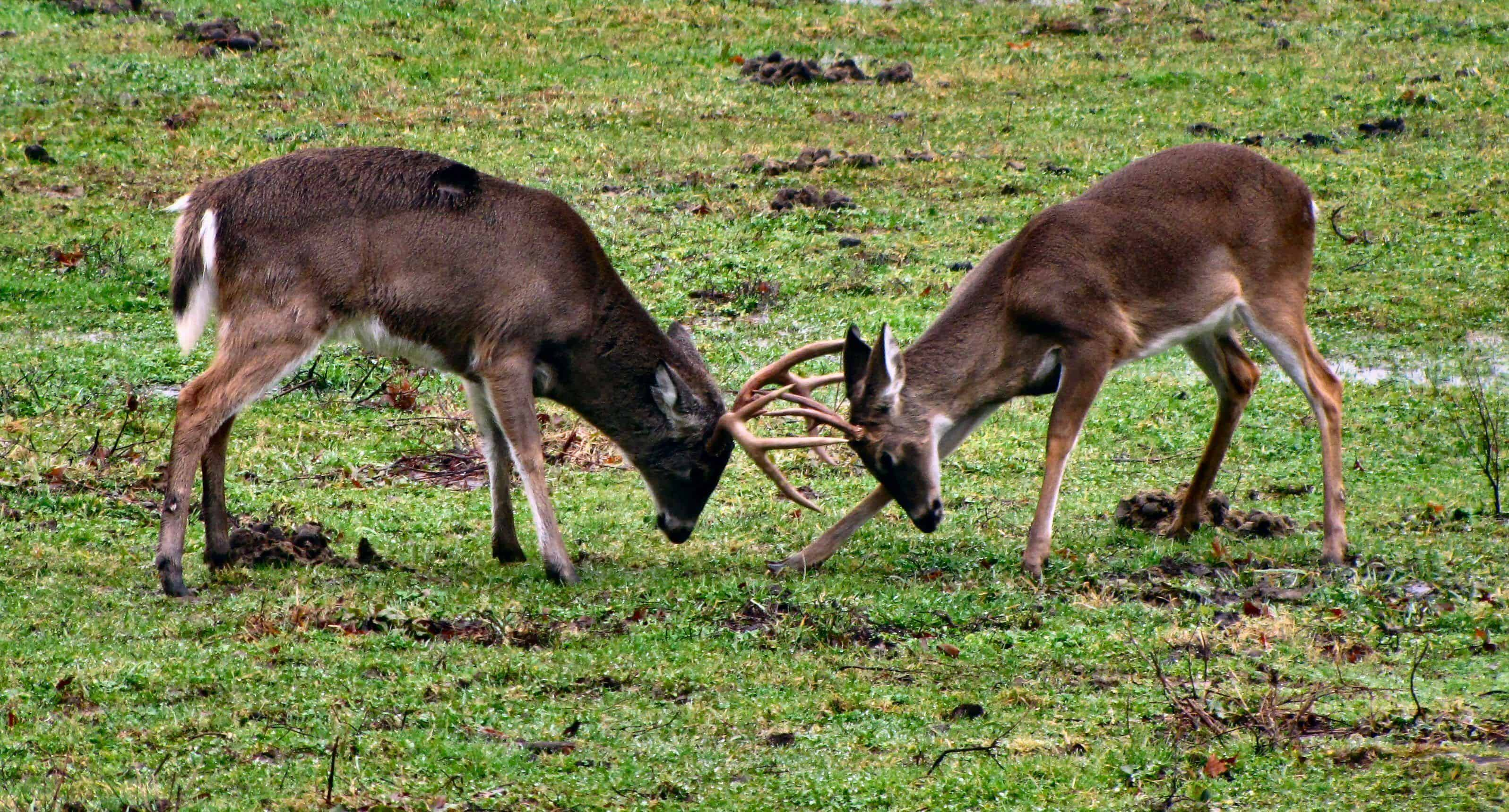 when do whitetail deer shed their antlers in pa