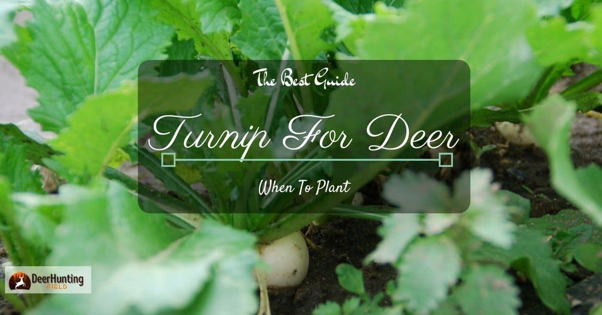When To Plant Turnips For