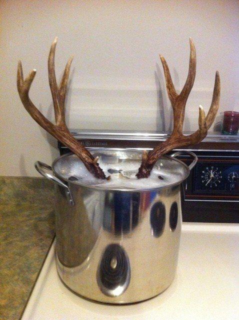 boiling deer skull