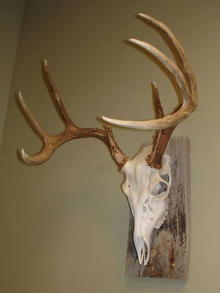 skull-mount-8point-whitetail