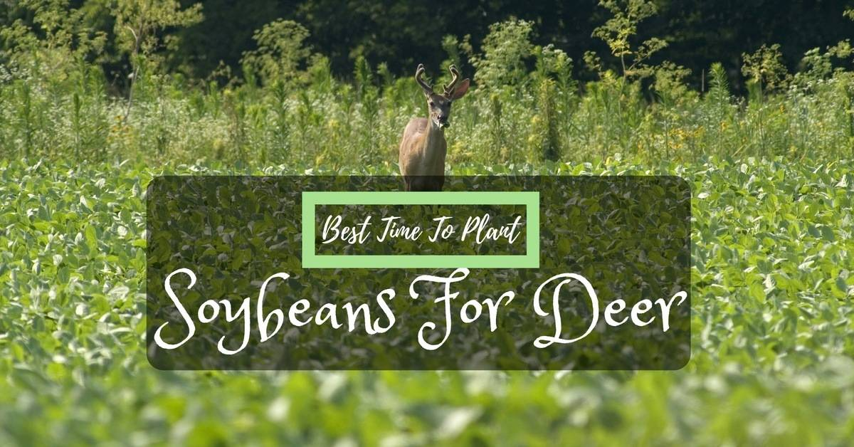 planting soybeans for deer