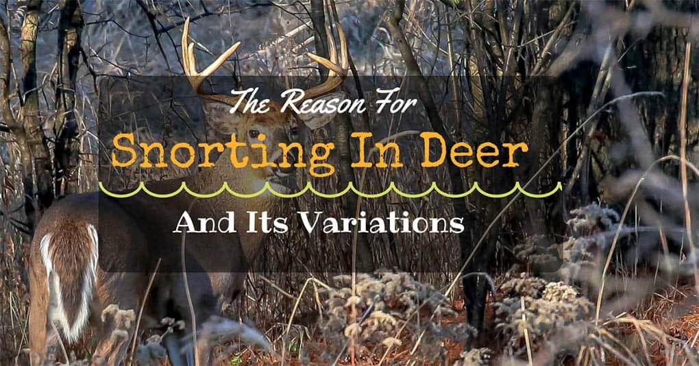 why-do-deer-snort