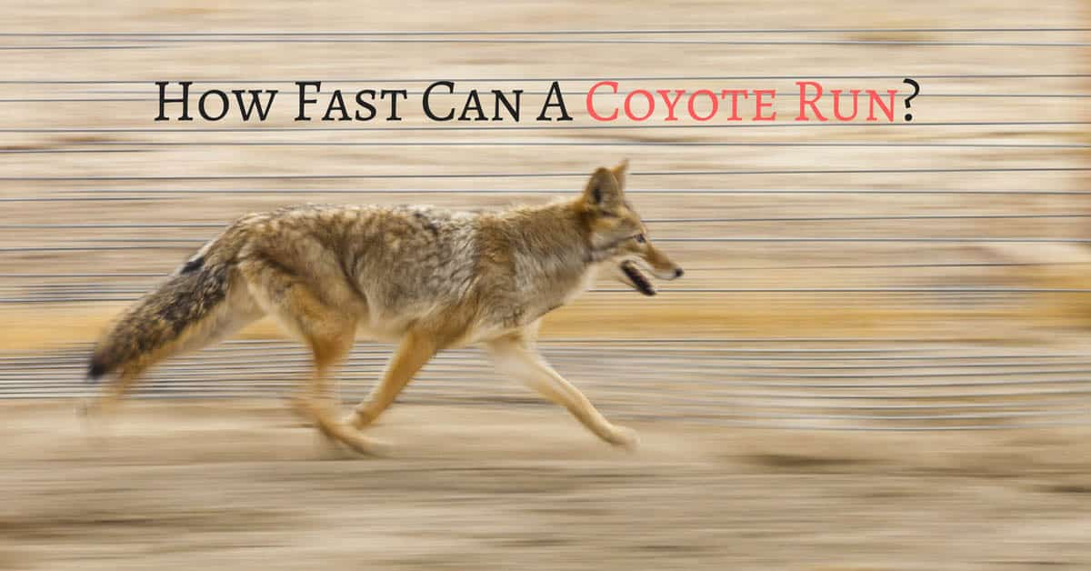 How Fast Can A Coyote Run-