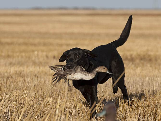 Duck hunting in the autumn on the prairie
