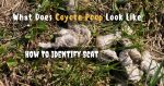 What Does Coyote Poop Look Like