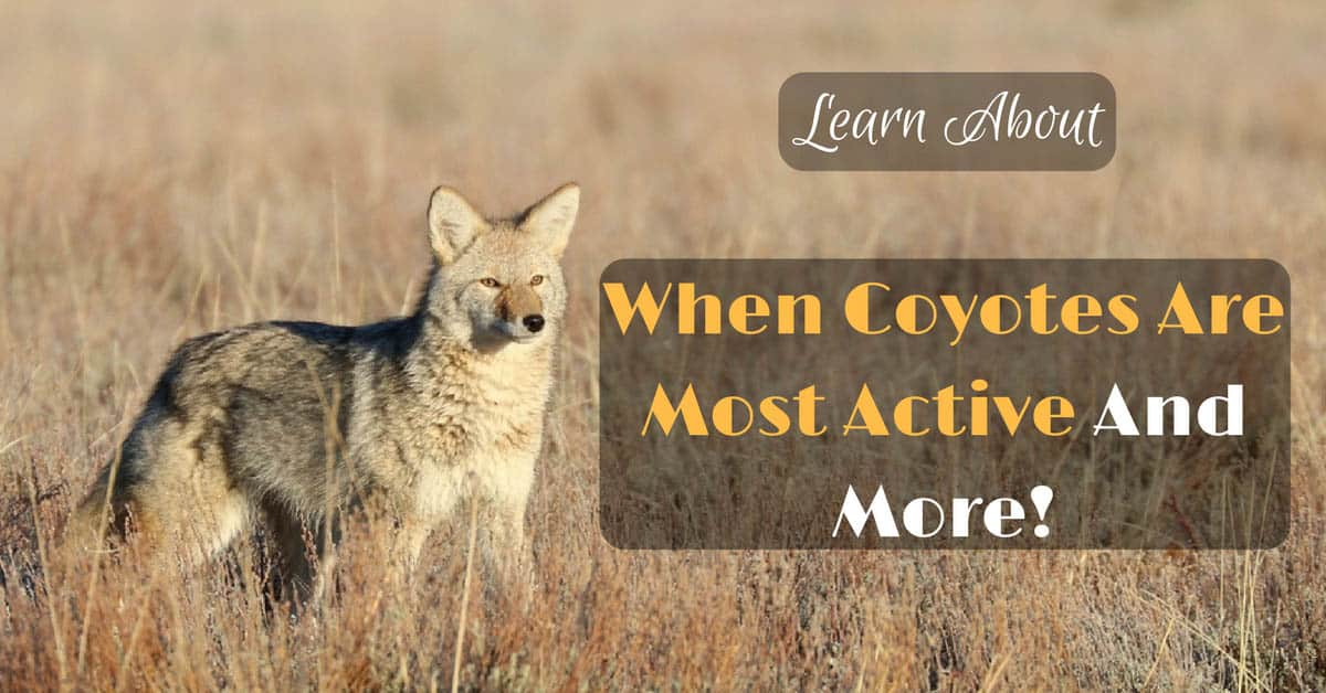 When Coyotes Are Most Active